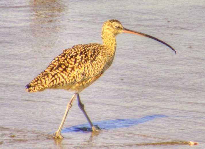Curlew_Small tonemapped