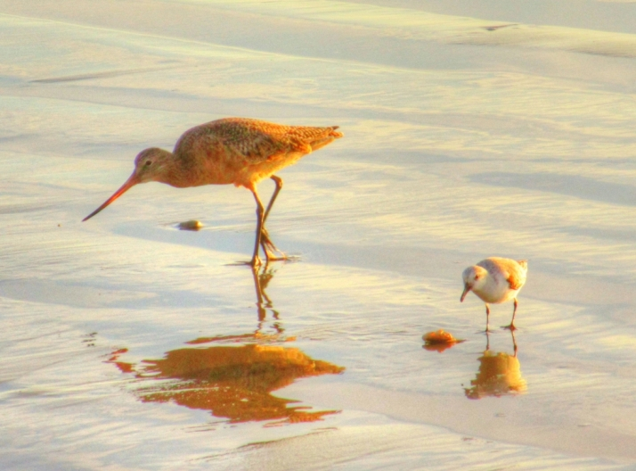 Marbled Godwit and Plover_Small tonemapped