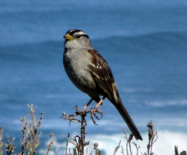 White Crowned Sparrow_Small tonemapped
