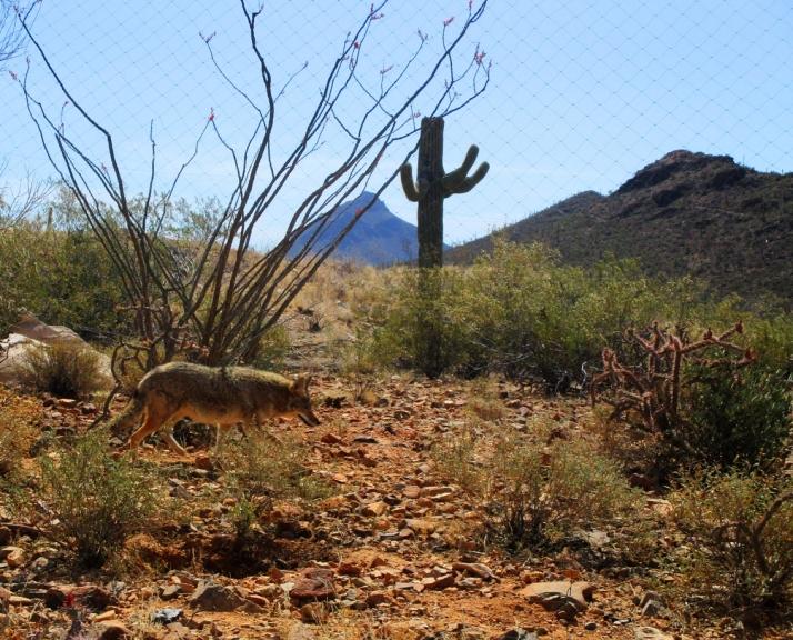 Coyote Sonoran Desert_Small tonemapped (2)