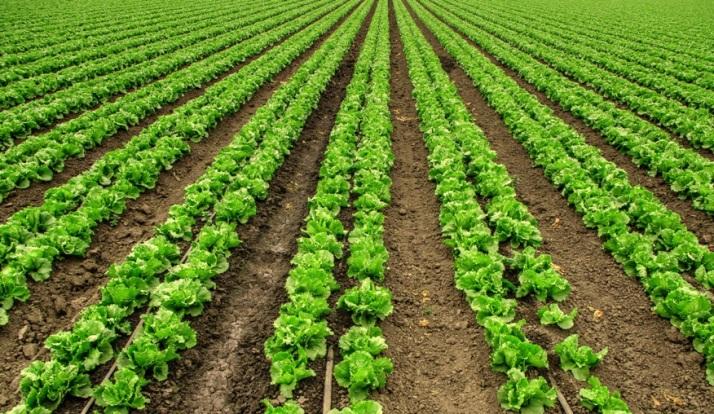 lettuce-small_tonemapped-2