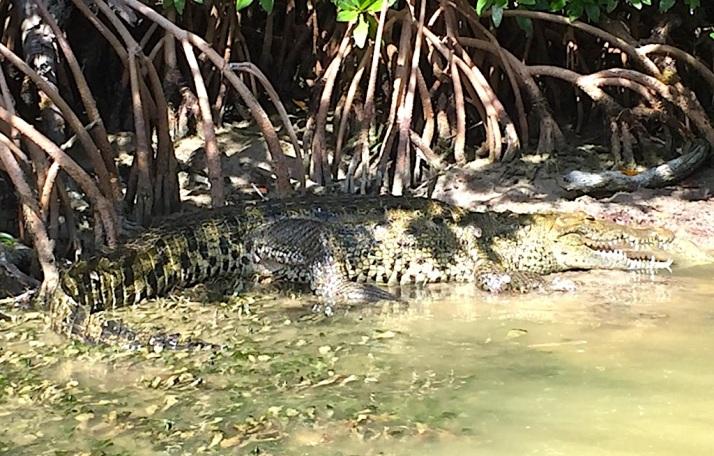 Croc Rio Lagartos