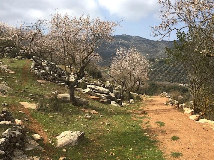 Alfarnate Almond Trees